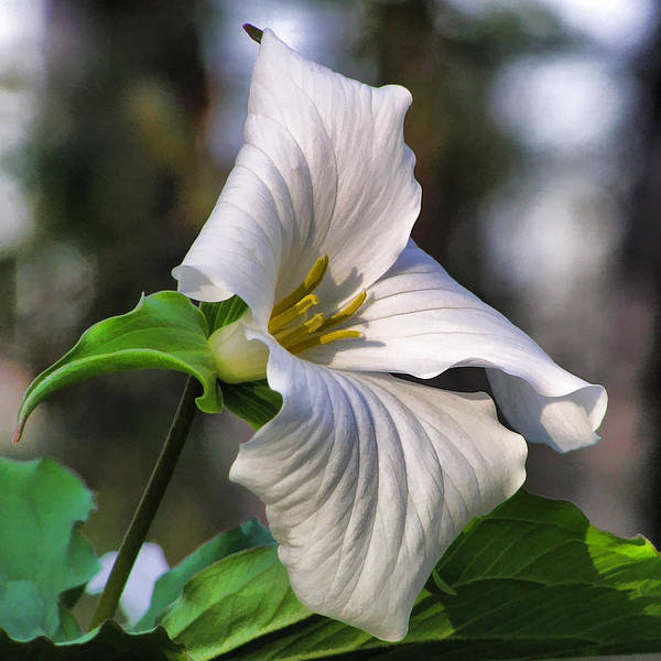 Painting - Trillium Purity by Christopher Arndt