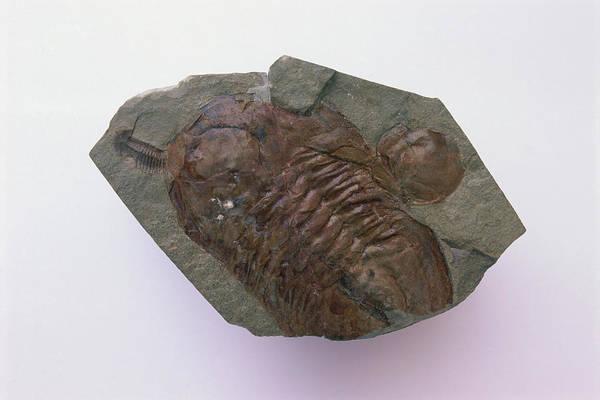 Arthropods Wall Art - Photograph - Trilobite Fossil by Dorling Kindersley/uig