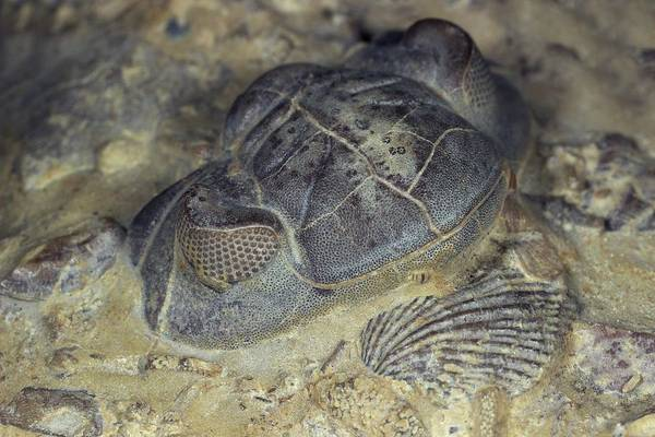 Period Photograph - Trilobite Head Fossil by Sinclair Stammers/science Photo Library