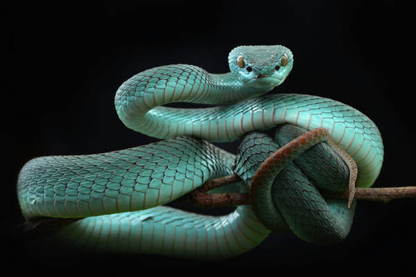 Trimeresurus Insularis [blue] Art Print