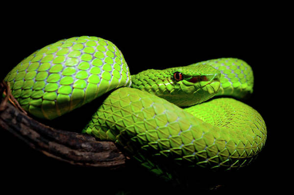 Green Eyes Wall Art - Photograph - Trimeresurus Popeiorum - Pope's Pit Viper by Thor Hakonsen