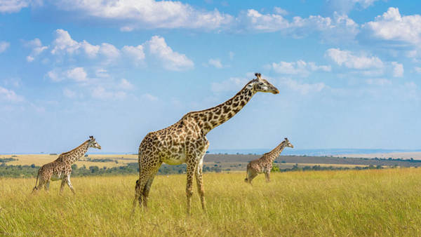 Wild Grass Photograph - Trio Giraffes by Husain Alfraid