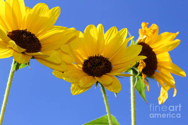 Photograph - Trio In The Sun - Yellow Daisies By Diana Sainz by Diana Raquel Sainz