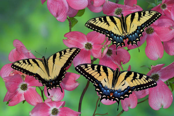 Wall Art - Photograph - Trio Of Eastern Tiger Swallowtail by Darrell Gulin