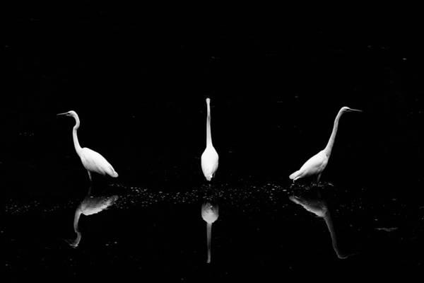 Trio Of Egret Art Print by Yoshinori Matsui