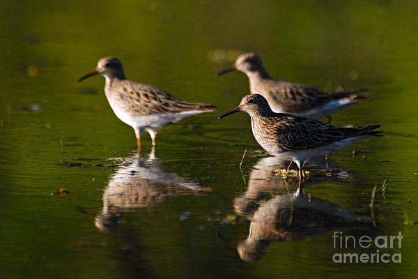 Photograph - Trio Of Lesser Yellowlegs by Larry Ricker