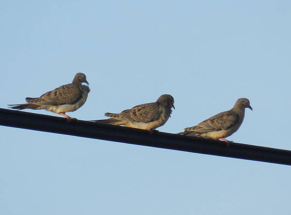 Photograph - Trio Of Mourning Doves by Grace Dillon