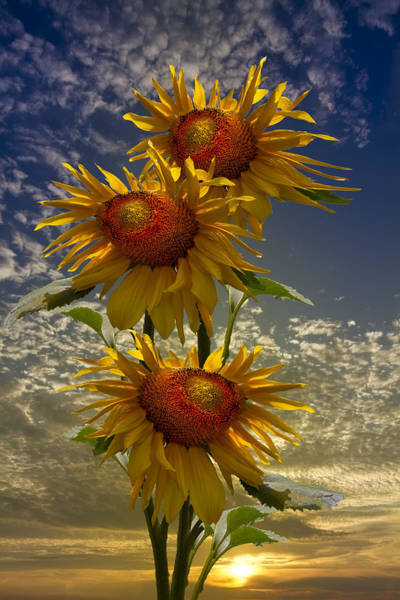 Wall Art - Photograph - Trio Of Sunflowers by Debra and Dave Vanderlaan