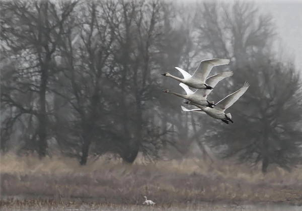 Tundra Swan Photograph - Trio Of Swans by Angie Vogel