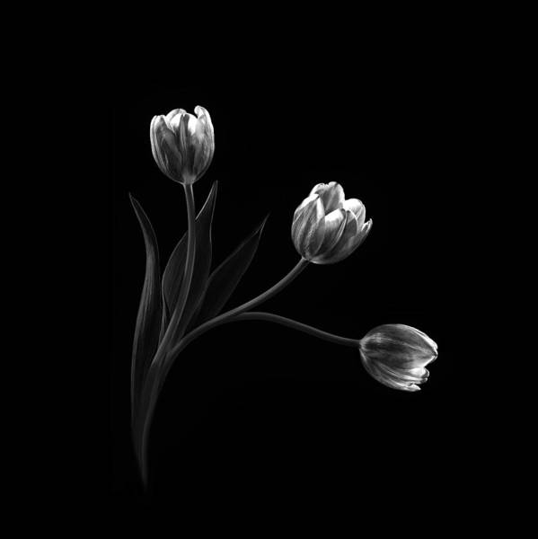 Tulip Flower Photograph - Trio by Sophie Pan