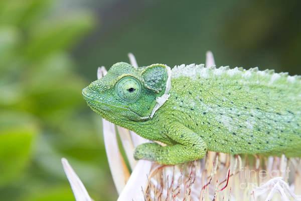Photograph - Trioceros Jacksonii - Jackson's Chameleon - Kula Maui Hawaii  by Sharon Mau