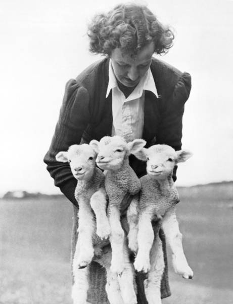 Triplets Photograph - Triplet Lambs by Underwood Archives