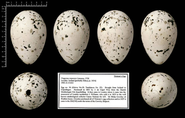 Chordate Photograph - Tristram's Great Auk Egg by Natural History Museum, London
