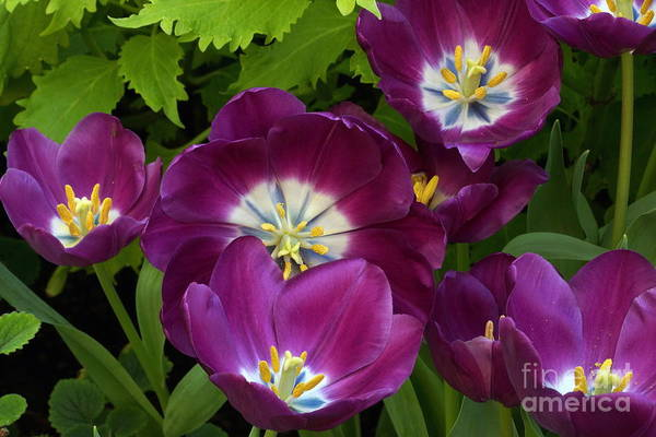 Photograph - Triumph Tulips Negrita Variety by Byron Varvarigos