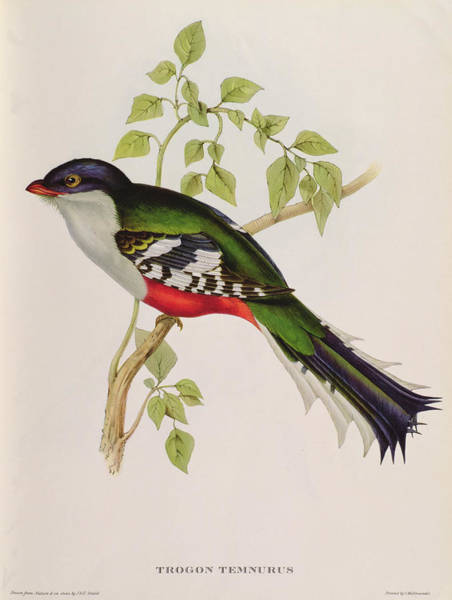 Wall Art - Painting - Trogon Temnurus From Tropical Birds, 19th Century  by John Gould