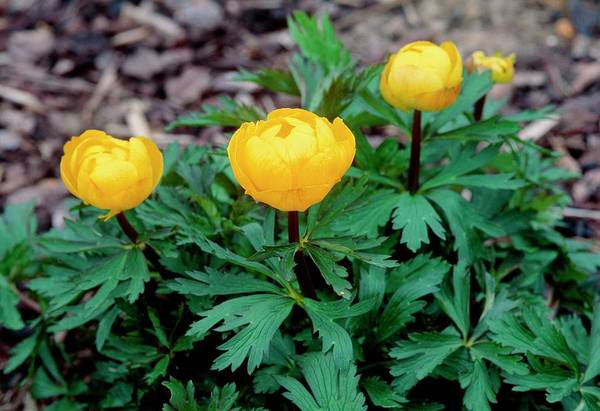 Early Spring Photograph - Trollius X Cultorum Earliest Of All by Adrian Thomas/science Photo Library