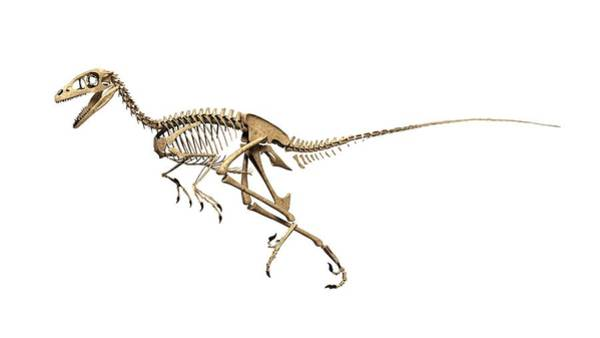 Wall Art - Photograph - Troodon Dinosaur Skeleton by Jose Antonio Pe�as