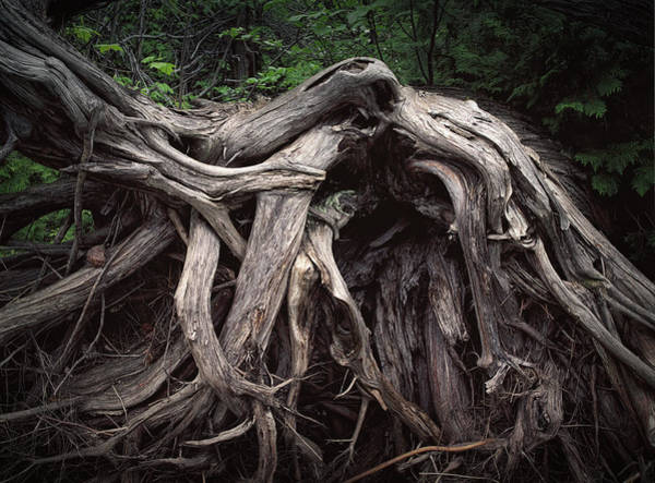 Photograph - Troots Of A Fallen Tree By Wawa Ontario by Randall Nyhof