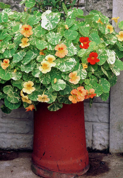 Wall Art - Photograph - Tropaeolum Alaska Mixed by Mike Danson/science Photo Library