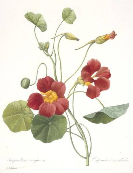 Decorative Drawing - Tropaeolum Majus Garden Nasturtium by Pierre Joseph Redoute