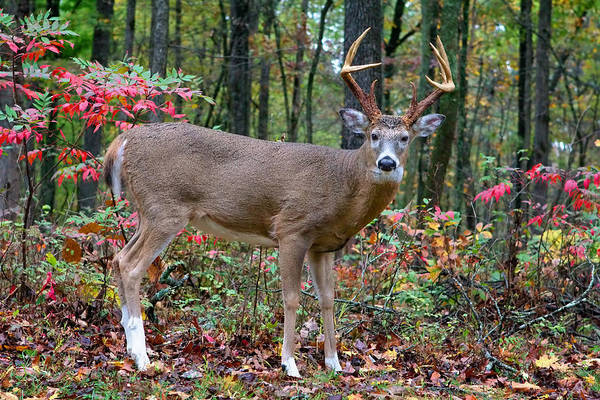 Photograph - Trophy Buck In Autumn by Mary Almond