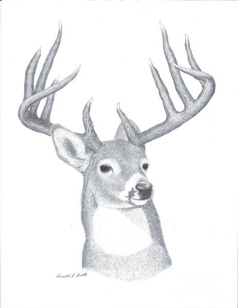 Whitetail Drawing - Trophy Buck by Ronald Scott