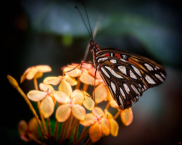 Photograph - Tropical Butterfly by Chris Lord