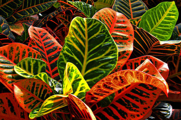 Photograph - Tropical Croton by Bill Swartwout Photography