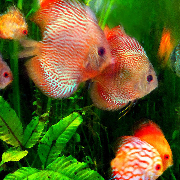 Wall Art - Painting - Tropical Discus Fish Group by Amy Vangsgard