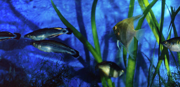 Fish Tank Photograph - Tropical Fish In An Aquarium, Capitol by Animal Images