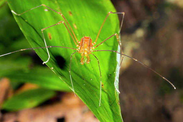 Arachnids Wall Art - Photograph - Tropical Harvestman On A Leaf by Dr Morley Read