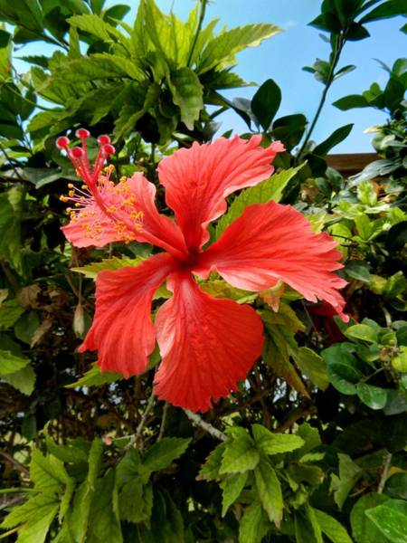 Photograph - Tropical Hibiscus 002 by Lance Vaughn