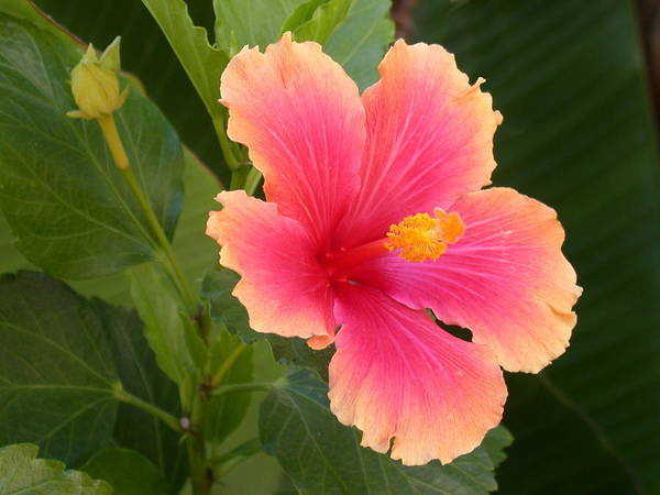 Photograph - Tropical Hibiscus by Shane Bechler