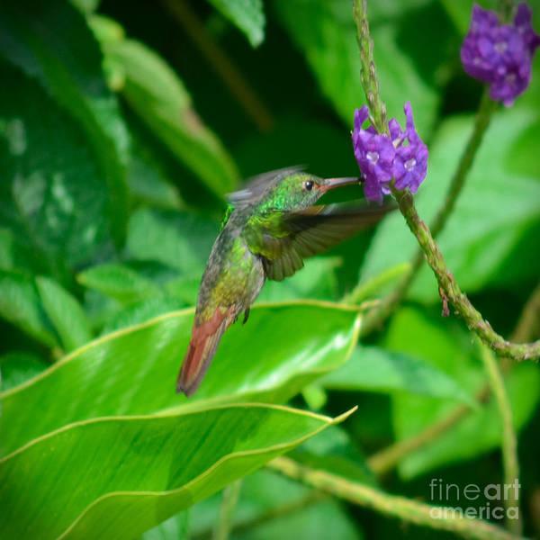 Photograph - Tropical Hummingbird by Gary Keesler