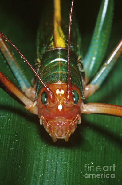 Photograph - Tropical Katydid by Gregory G. Dimijian, M.D.