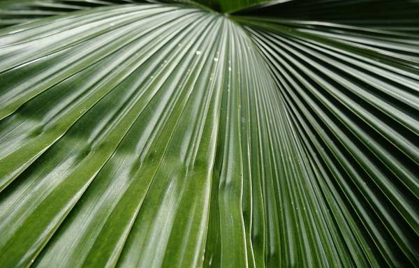 Photograph - Tropical Leaf Frond by Dan Sproul