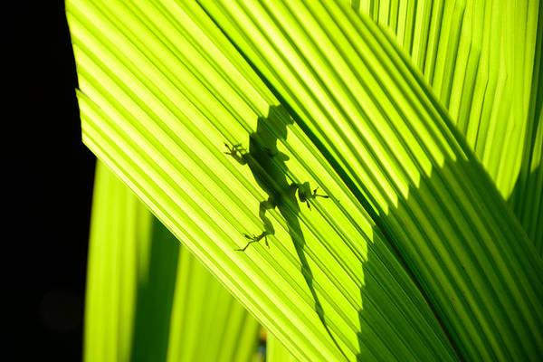 Green Anole Photograph - Tropical Living by David Lee Thompson
