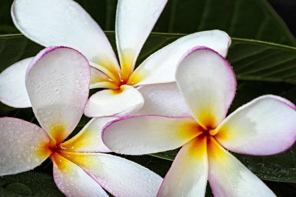 Photograph - Tropical Maui Plumeria by Susan Candelario
