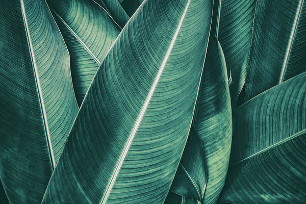 Beauty In Nature Photograph - Tropical Palm Leaf, Dark Green Toned by Pernsanitfoto