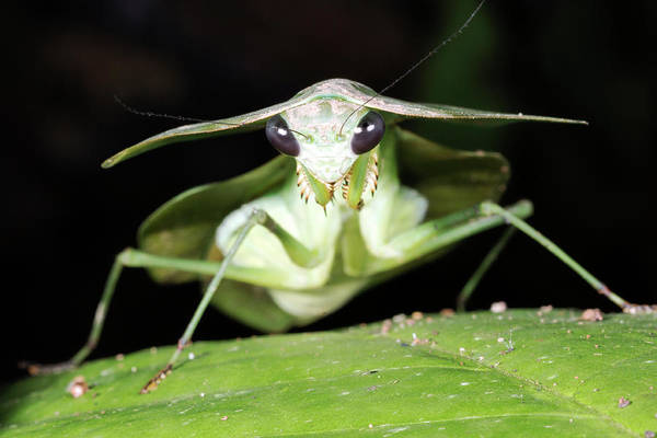 Single Leaf Wall Art - Photograph - Tropical Shield Mantis by Dr Morley Read