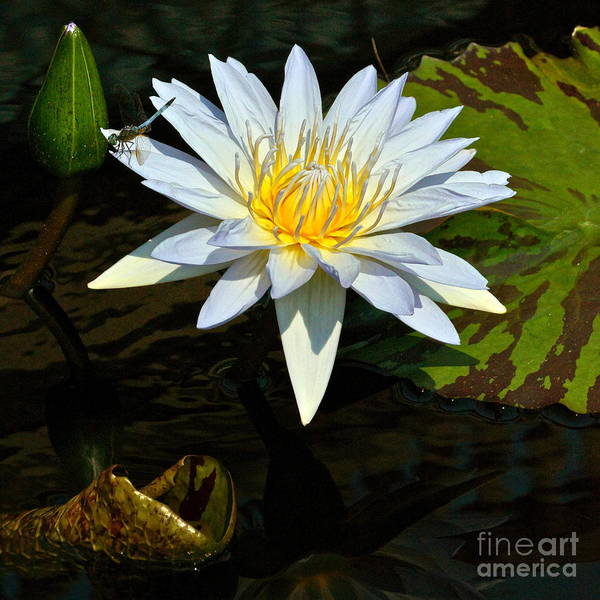 Photograph - Tropical Waterlily And Dragonfly Square Frame by Byron Varvarigos