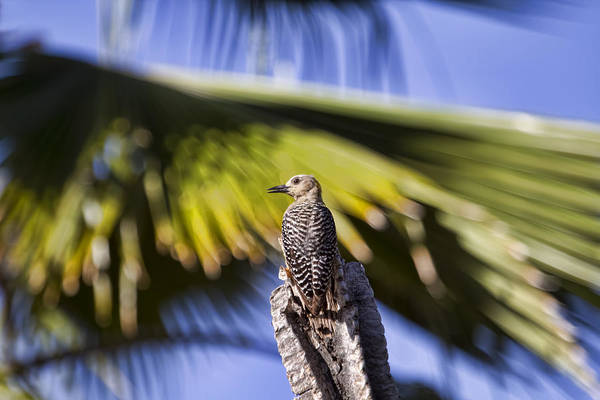 Photograph - Tropical Woodpecker by Peggy Collins