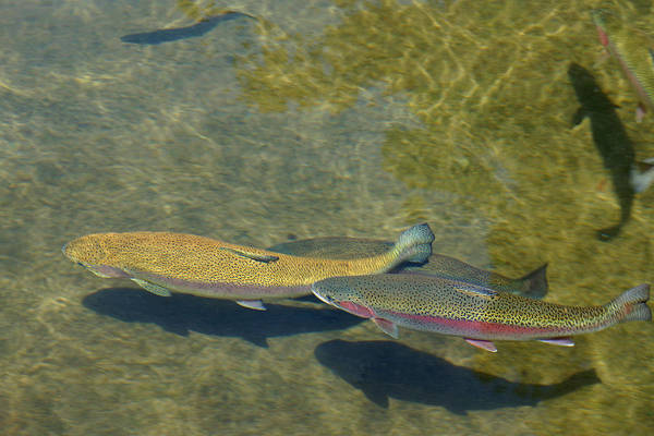 Wall Art - Photograph - Trout Art Prints Wild Game Sports Fishing by Baslee Troutman