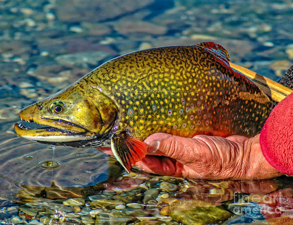 Fish Pond Photograph - Trout by Edward Fielding