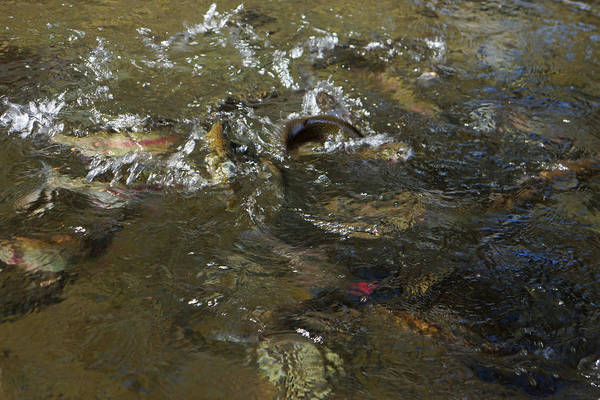 Wall Art - Photograph - Trout Feeding Surface Rainbow Trout Art Prints by Baslee Troutman