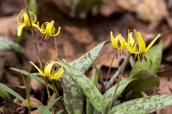 Photograph - Trout Lily 06 by Jim Dollar