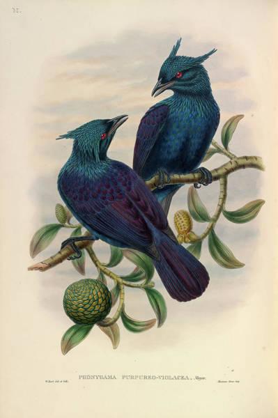 Passeriformes Photograph - Trumpet Manucode by Natural History Museum, London