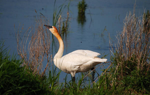Horicon Marsh Photograph - Trumpeter by Janice Adomeit