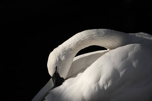 Swan Neck Photograph - Trumpeter by Karol Livote