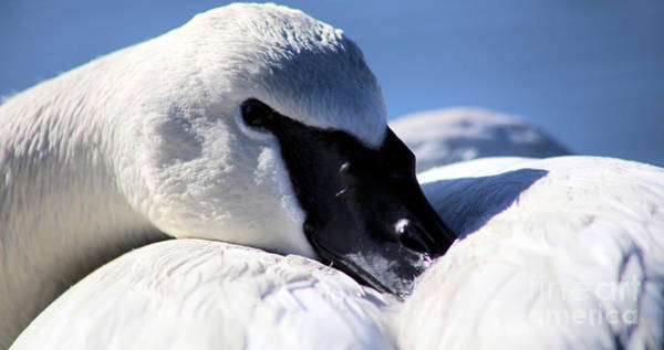 Photograph - Trumpeter Swan Blues by Sue Harper